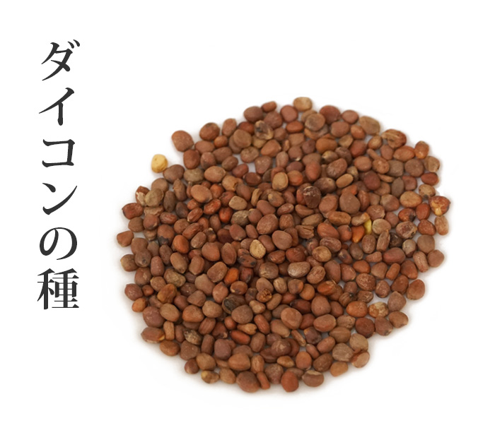 ダイコンの種・莱菔子 (らいふくし)